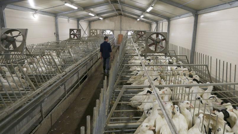 La production de canards et oies est suspendue pendant plusieurs mois.