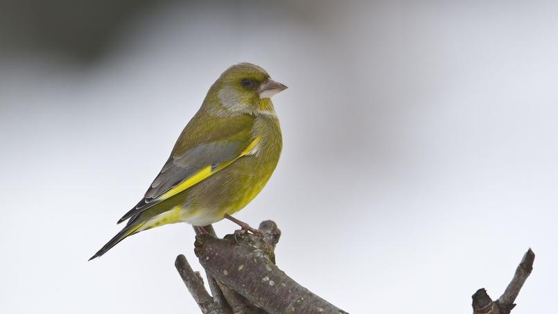 L 39 hiver les oiseaux du jardin ont besoin de nous for Les oiseaux du jardin