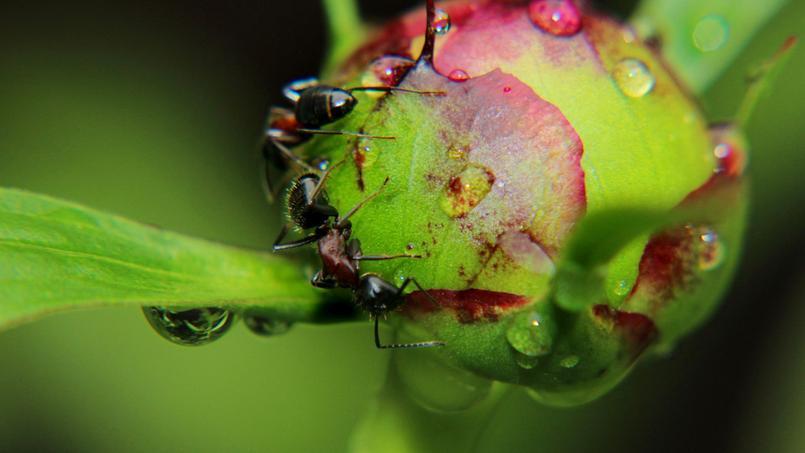 les fourmis sont elles nuisibles dans un jardin. Black Bedroom Furniture Sets. Home Design Ideas