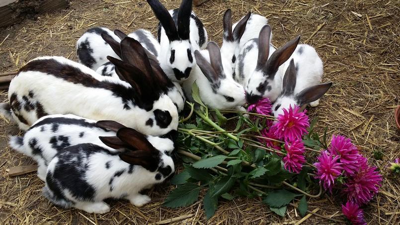 Super Comment élever de «vrais» lapins de ferme OH67