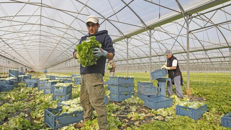 Depuis les années 1980, la surface totale de production de salade dans les Pyrénées-Orientales a été divisée par quatre. Crédits photo: RAYMOND ROIG / AFP