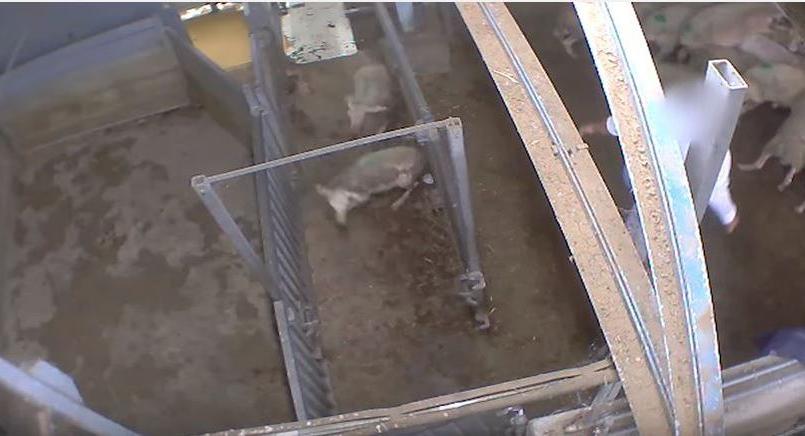 Les images tournées dans l'abattoir du Vigan montrent des violences envers les animaux et un non-respect des normes d'abattage.