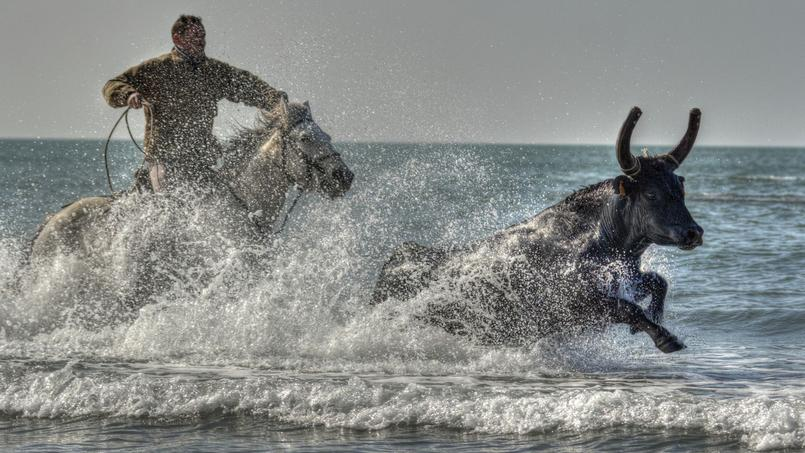 Un gardian en plein action lors de l'Abrivado des plages (J.L. Léonard)