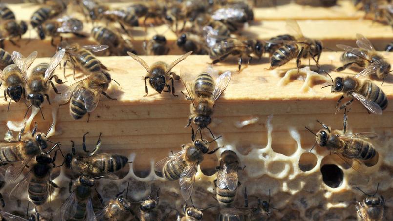 Selon l'Unaf, 300.000 ruches seraient touchées chaque année.