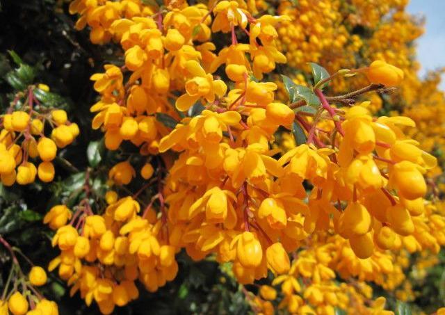 Berb ris ou pine vinette du japon qui s 39 y frotte for Noms de plantes avec photos