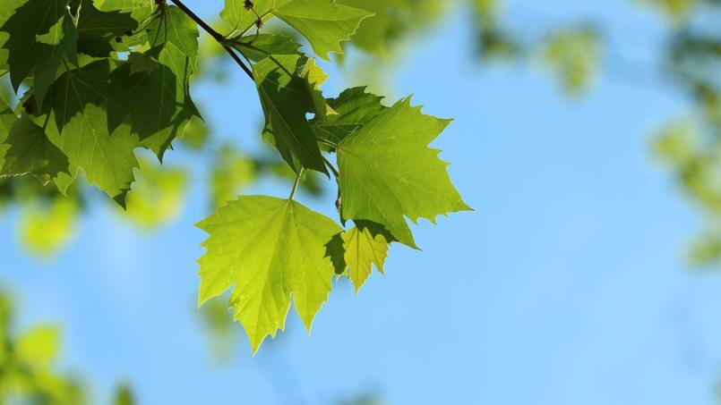 Pourquoi mon rable perd il d j ses feuilles - Poinsettia perd ses feuilles ...