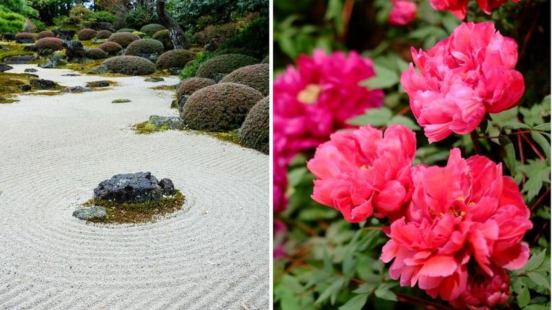 Le jardin de Yuushien, dans l'île de Daikonshima, abrite 200 variétés de pivoines arbustives.