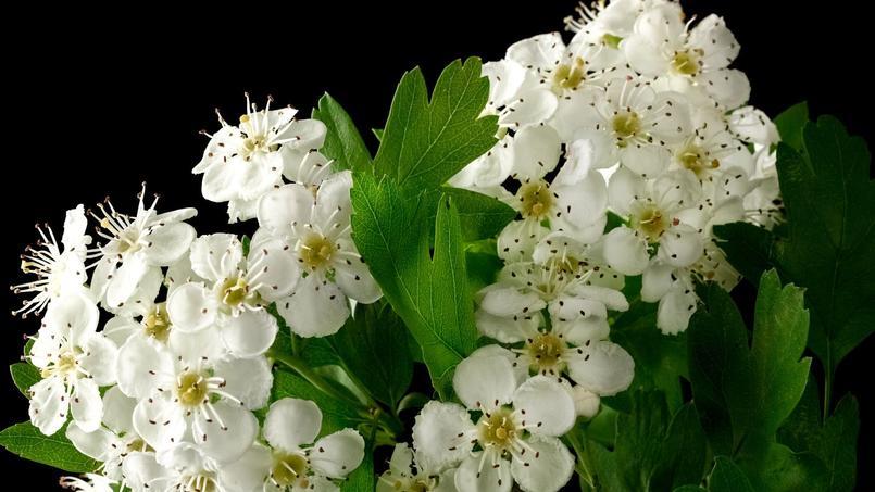 La floraison de l'aubépine a lieu au printemps