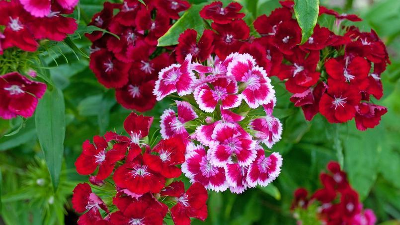 Oeillet de po te le bouquet parfait - Oeillets de poete ...