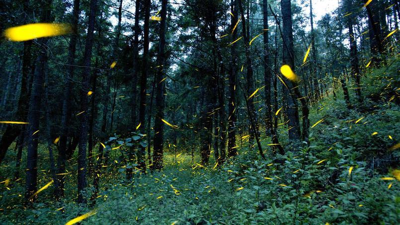 Un sanctuaire de lucioles, au Mexique, pour sensibiliser les touristes à la déforestation