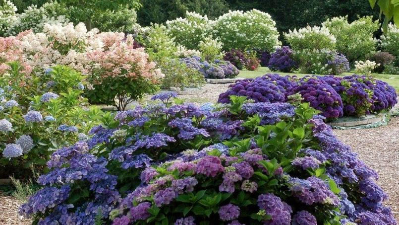 Jardin shamrock le paradis normand des hortensias for Le jardin normand