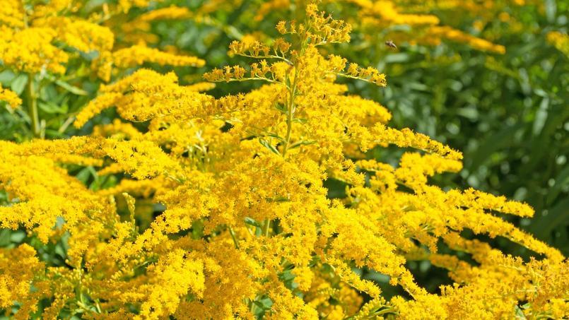 Comment éradiquer la belle mais invasive «verge d'or» ?