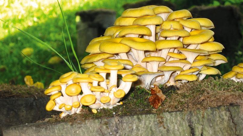 Jardin balcon cave les champignons a se cultive - Champignon qui pousse sur les arbres ...