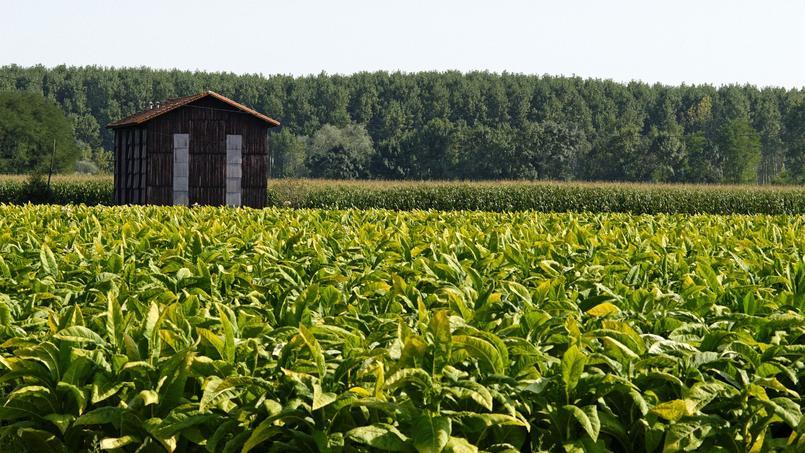 Un champ de feuilles de tabac de la société Traditab, dans le Lot-et-Garonne, avec en arrière plan, le séchoir à tabac.