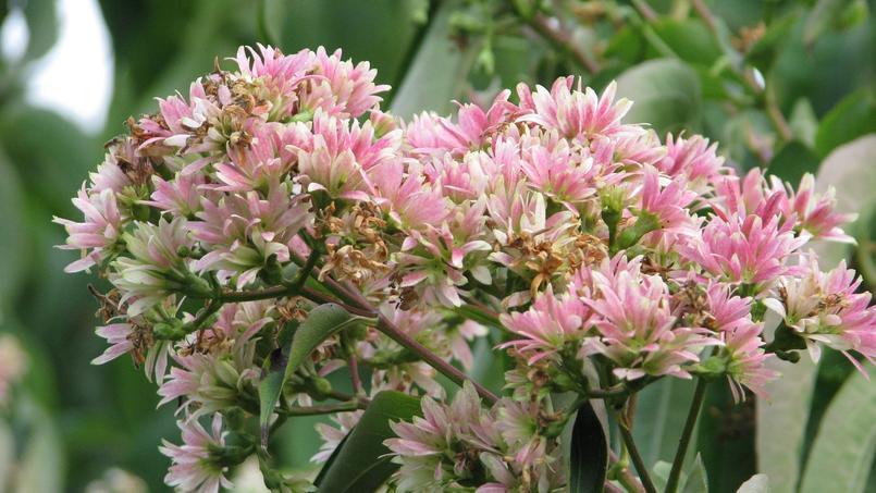Heptacodion de Chine: quand les pétales fanent, les calices persistent et deviennent roses puis rougeâtres, donnant l'impression d'une deuxième floraison.