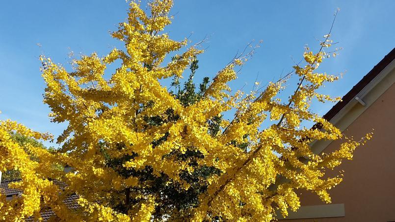 En automne, les feuilles du ginkgo prennent une superbe teinte jaune.