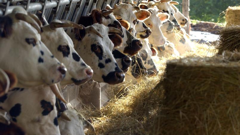 «Il faut avouer que trouver 400 vaches en Normandie n'est pas un défi insurmontable» déclare Hervé Morin.