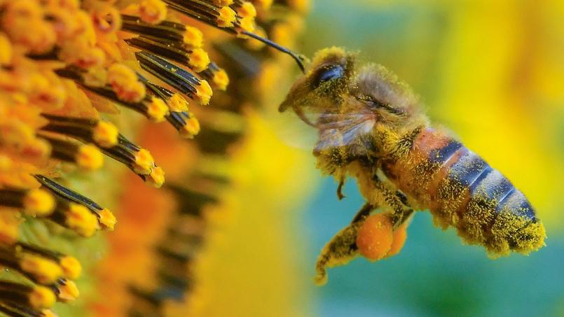 72,2% des espèces végétales cultivées pour l'alimentation humaine sont dépendantes de l'action des abeilles