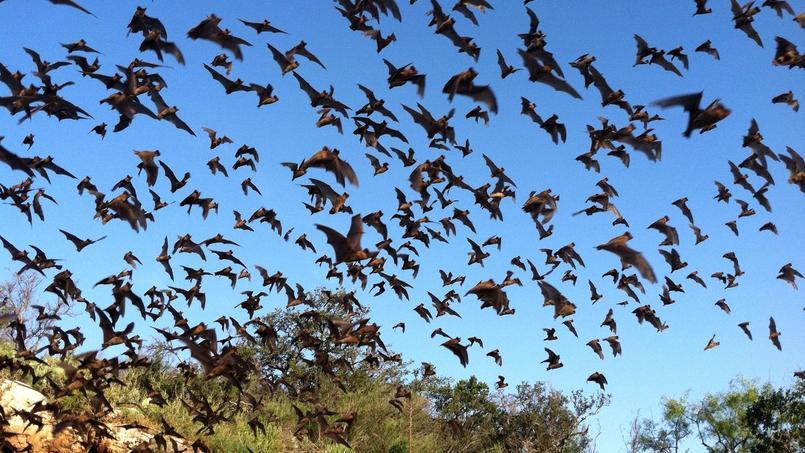 Le «molosse du Brésil» vit en colonies de dizaines de milliers d'individus. Froschauer Ann, USFWS