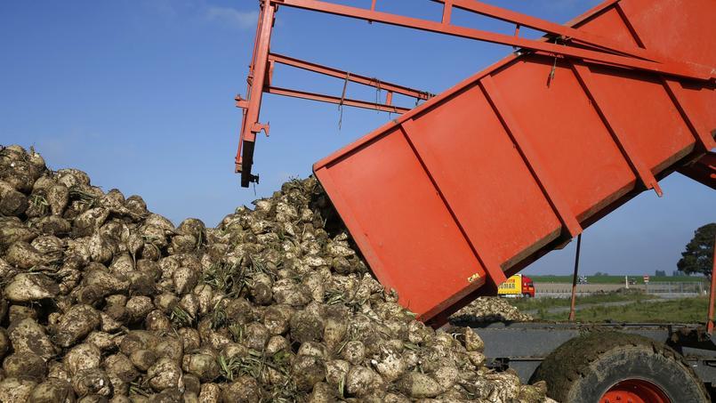Les producteurs de betteraves redoutent les conséquences de la proposition de la Commission européenne.
