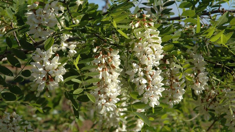 Les fleurs de robinier sont délicieuses en beignet.