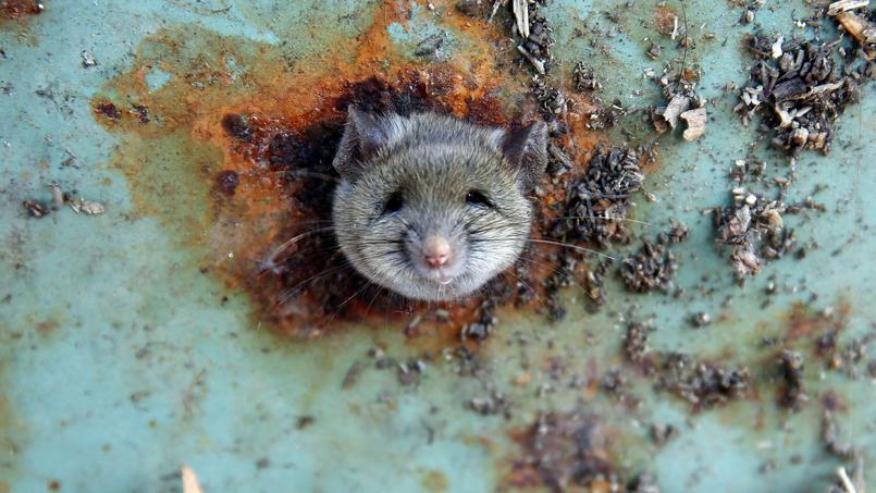 Les rats savent aussi bien dépister les maladies que fouiller parmi nos déchets, comme le fait celui-ci dans une benne à ordures du quartier de Brooklyn, à New York.
