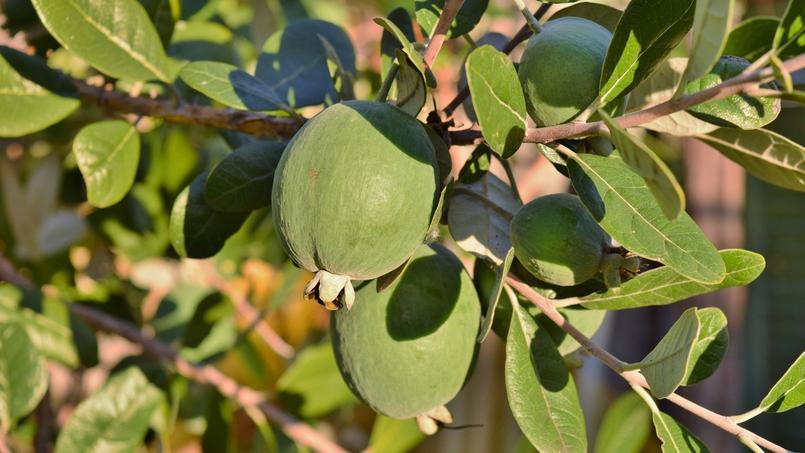 Les fruits du feijoa se consomment frais ou cuits.