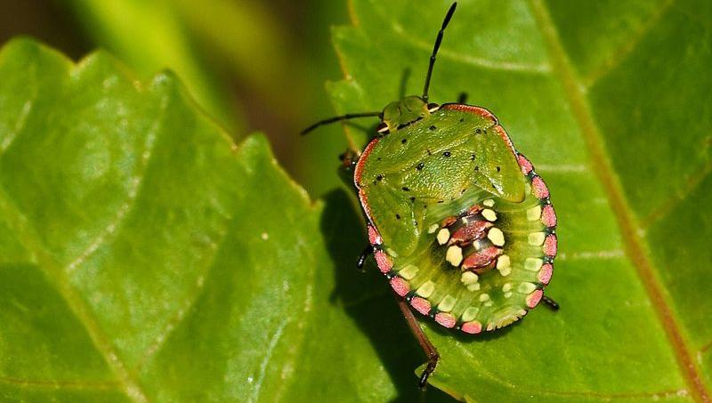 Que faire contre les ravages de la punaise verte - Que mange les punaises ...