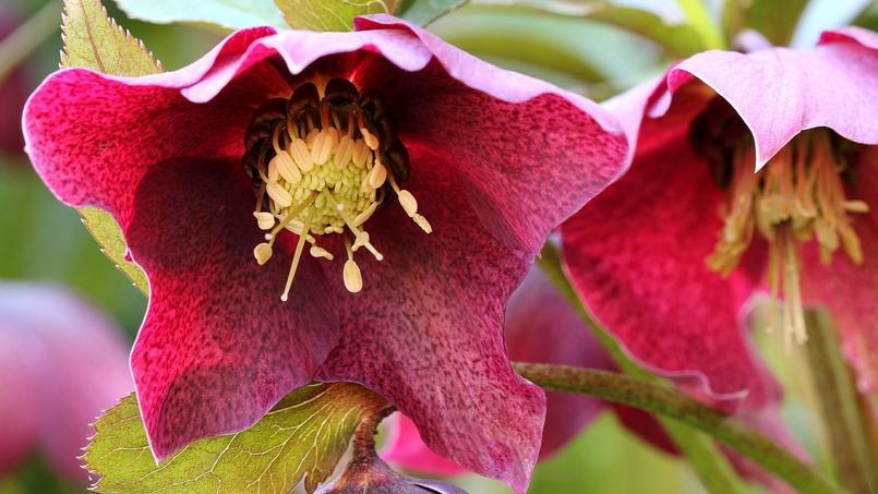 Hellébore, la sublime rose de Noël qui enchante l'hiver