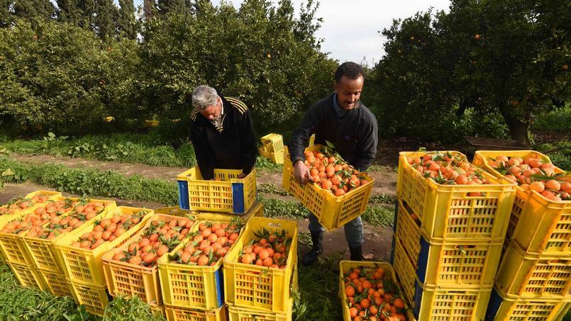 Collecte d'oranges dans une ferme tunisienne, le 3 janvier 2017.