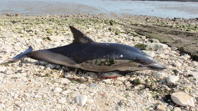 L'un des dauphins communs échoués sur les côtes de Charente-Maritime.