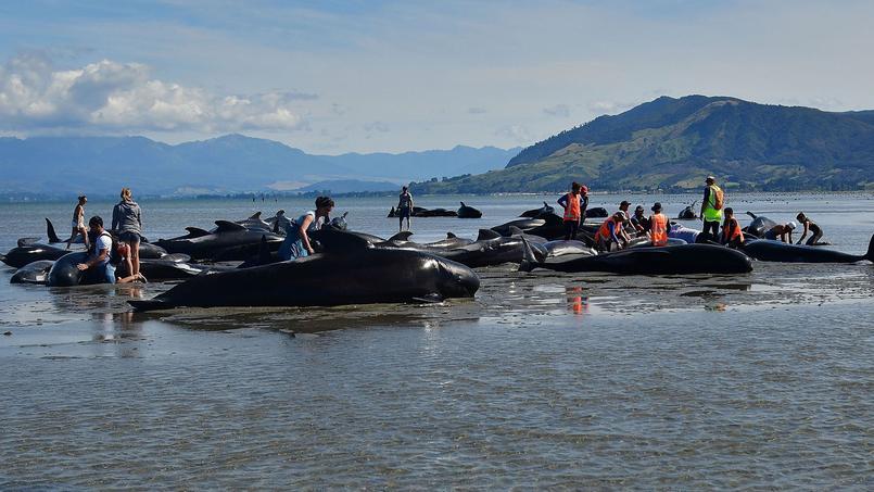 Quatre cents globicéphales se sont échoués sur une plage de Nouvelle-Zélande