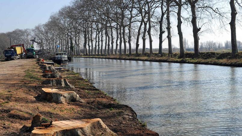 Malades, les platanes du canal du Midi sont abattus et les souches arrachées.