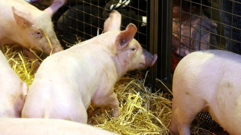 Fleury-Michon ambitionne de créer d'ici trois ans une filière du porc bio en France.
