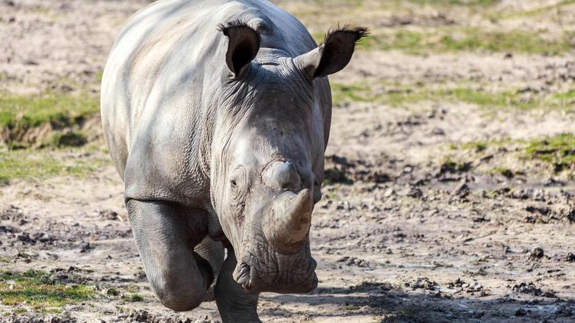 Le rhinocéros Vince, abattu dans l'enceinte du zoo pour sa corne, vivait à Thoiry depuis 2015.