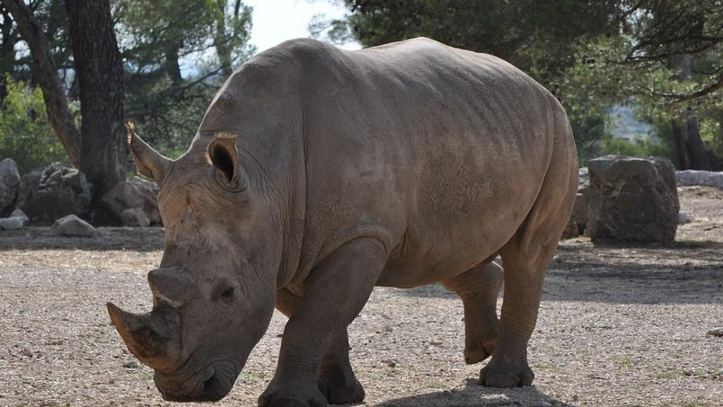 Les rhinocéros sont chassés par les braconniers pour leur corne jusque dans les zoos européens. Pendant le siège de Paris, les habitants affamés en voulaient à leur chair.