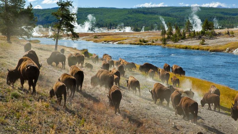 Des bisons dans le parc du Yellowstone, tout proche de la ligne de centralité de l'éclipse.