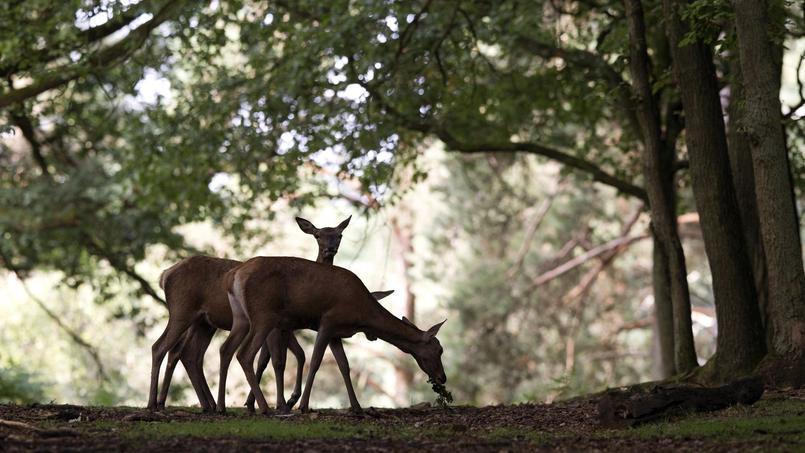 La célèbre forêt de Rambouillet est gérée par l'ONF. Avec 1,7 million d'hectares de forêts domaniales, l'État est toujours le premier propriétaire forestier de France.