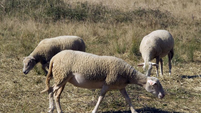 Vaucluse: 200 brebis mortes après une attaque de chiens errants
