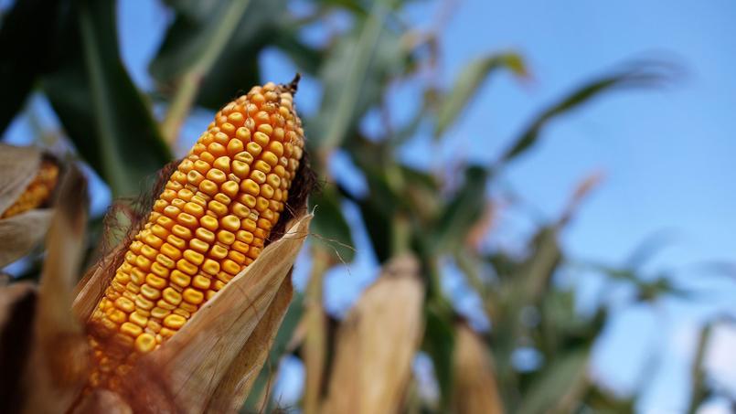 Jusqu'à présent, le maïs américain est moins cher pour le Mexique que le brésilien ou l'argentin.