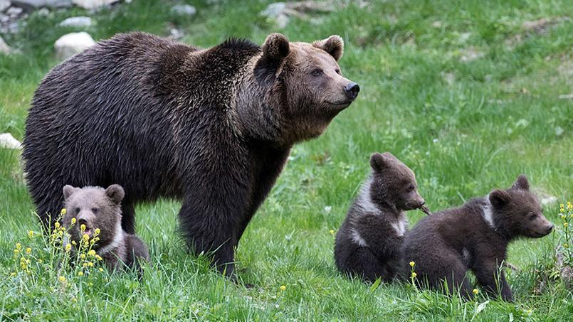 La population d'ours dans les Pyrénées devrait encore croître en 2017.