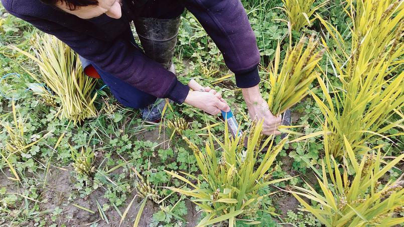 Culture de riz en Bretagne à Evran, près de Dinan