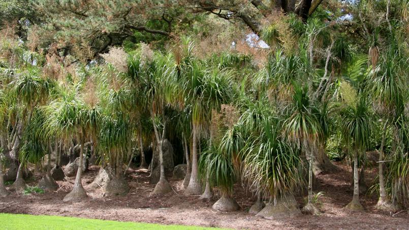 Pieds d'éléphant de l'espèce Beaucarnea recurvata dans leur milieu naturel.