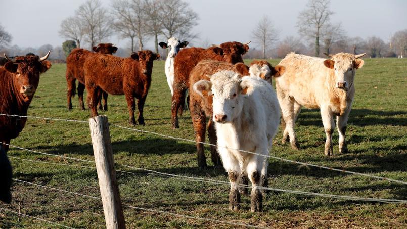 Un élevage de bovins bio en Normandie