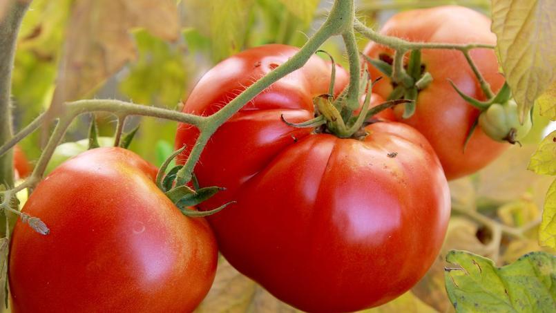 Comment la tomate d'industrie est devenue le symbole des dérives de la mondialisation