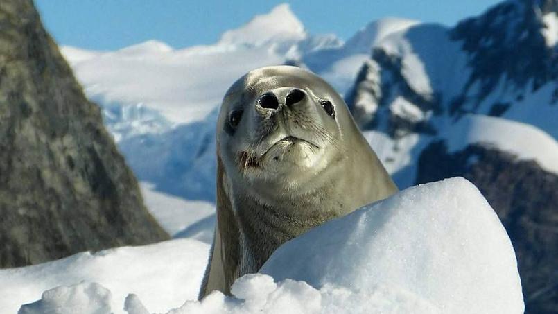 Dans l'Antarctique, les otaries à fourrure cotoient manchots, albatros, éléphants de mer, orques et baleines dans un paysage grandiose. Crédit photo: Bénédicte Menu