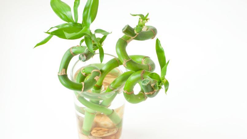 Boutures de bambou spiralées dans un verre d'eau.