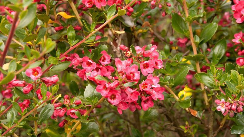 Escallonia en fleurs.