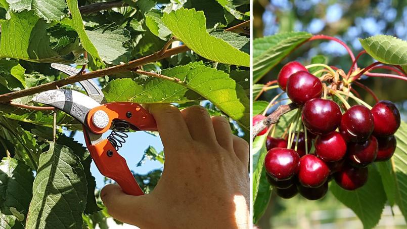 La taille d'été (ici un cerisier) permet de former l'arbre en limitant les risques de gommose et de préparer la récolte de l'anné suivante.