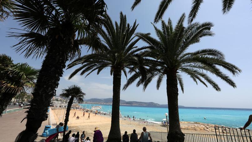 À Nice, environ 100.000 palmiers seraient infectés par le charançon rouge (image d'illustration).